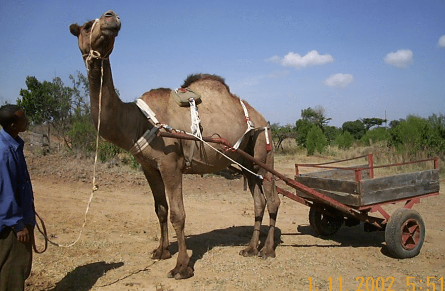 Camel with Pull Cart