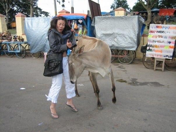 Kay Chau cow