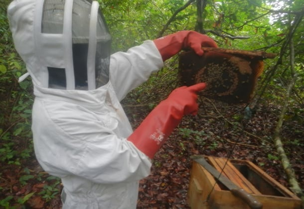 Dr. Steeve Ngama points to a queen bee in a colony. Image courtesy of the Elephants and Bees Project