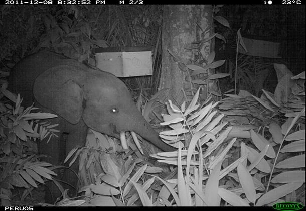 A motion-activated camera took this photo of a young elephant feeding at night. Image courtesy of the Elephants and Bees Project