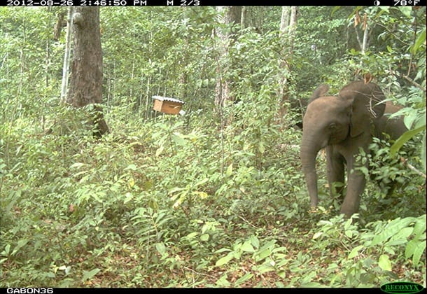 An elephant avoids a tree holding an active hive. Image courtesy of the Elephants and Bees Project